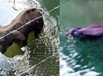Φρίκη: Έδωσαν σε έγκυο ελεφαντίνα να φάει ανανά με εκρηκτικά